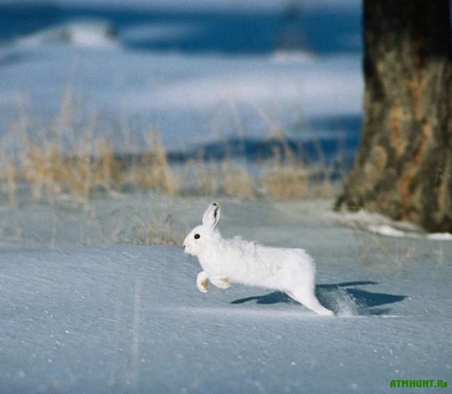 заяц зима