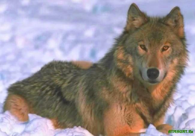 Ohota na volka s flazhkami.