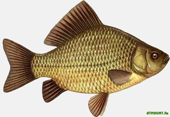 Rybalka na karasja. Rekomendacii opytnogo rybolova