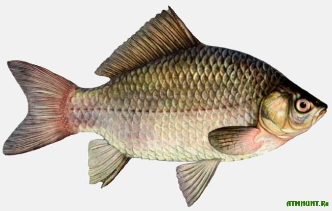 Rybalka na karasja. Rekomendacii opytnogo rybolova1