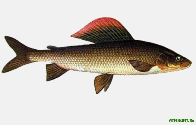 fish_harius
