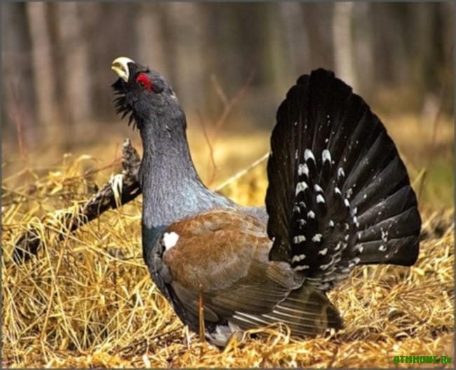фото птицы глухарка