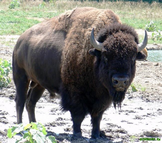 Amerikanskij_bizon
