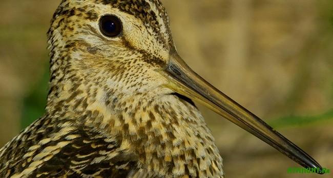 Dupel' ptica, ohota na dupelja1