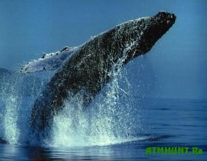 Gorbatyj kit chut' ne perevernul lodku meksikanskih rybakov