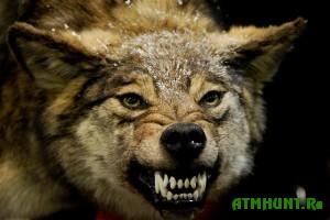 Kto budet streljat' volkov v EAO