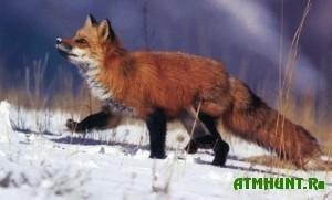 Na Juzhnom Urale budut otstrelivat' lis iz-za vspyshki beshenstva