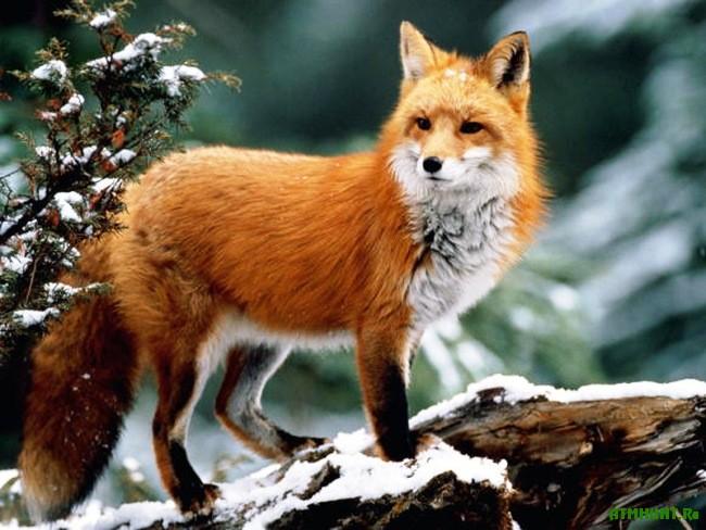 термобелья лисиця це дика тварина вікіпедія применения