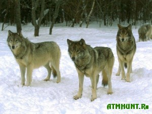 Ohota na volkov v Fedorovskom lesu