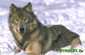 Ohota v Totemskom rajone odin den' - chetyre volka