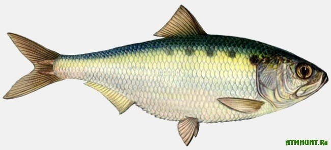 какая рыба клюет на чеснок