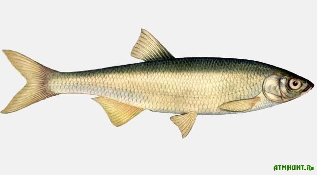 Ryby Kaspijskogo morja, Shemaja