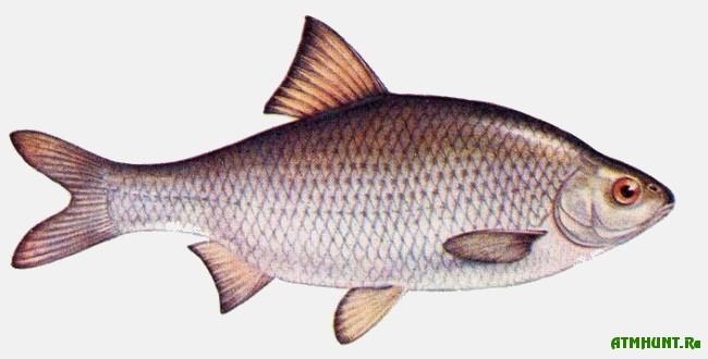 Ryby Kaspijskogo morja, Vobla