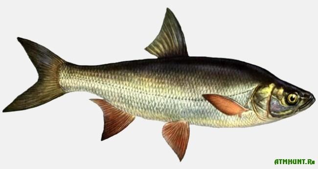 Ryby Kaspijskogo morja, Zhereh
