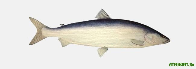 Ryby Kaspijskogo morja,Belorybica
