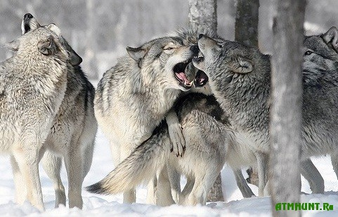 Shvecija na mestnyh volkov nachala ohotu
