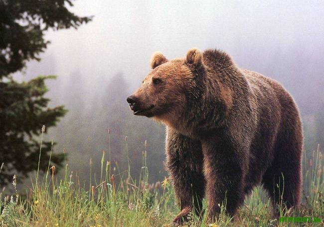 Sreda_obitanija_burogo_medvedja