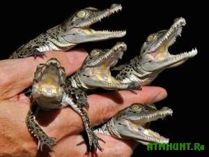 V Chehii rezreshili razvodit' krokodilov