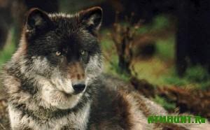 V Jakutii 20 tysjach rublej za volka