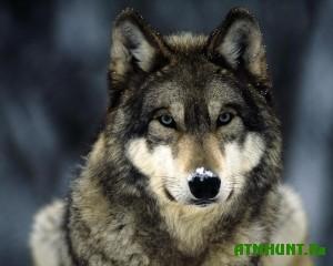 V Jakutii ohota na volkov v samom razgare