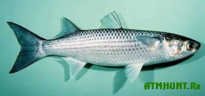 V Krymu po vine brakon'erov pogibajut tonny ryby