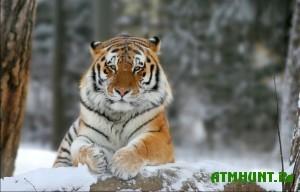 V Primorskom krae spasen amurskij tigr