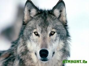 V Shvecii ob#javlena ohota na 16 volkov za 2 nedeli
