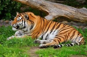 V Ussurijske zaderzhany brakon'ery zastrelivshie amurskogo tigra
