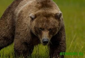na-dnepropetrovshhine-oxotniki-otdayut-medvedicu-sobakam-na-travlyu