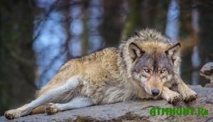 na-kinburnskoj-kose-idet-uchet-volkov