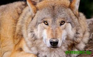 na-lyudej-v-astraxanskoj-oblasti-napadayut-volki