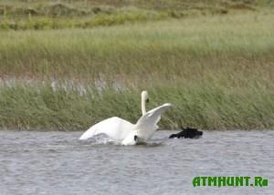 na-territorii-kryma-zapreshheno-bespokojstvo-otlov-lebedej-i-prochix-ptic