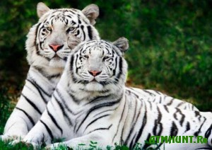 perepis-bengalskix-tigrov-nachalas-v-nepale-i-indii