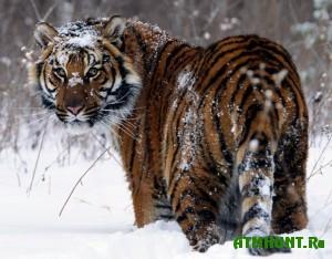 prodat-skelet-tigra-pytalas-zhenshhina-primorya