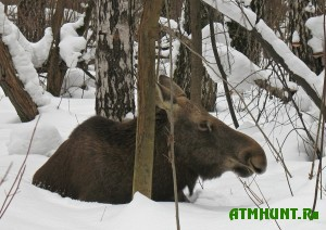 v-altajskom-krae-provodyatsya-roboty-po-spaseniyu-zhivotnyx-ot-bolshogo-snega