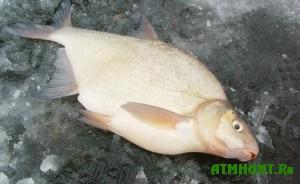 v-anglii-pojman-samyj-ogromnyj-leshh-17-ti-letnym-rybakom