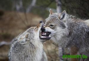 v-karelii-vnov-volki-o-sebe-zayavili