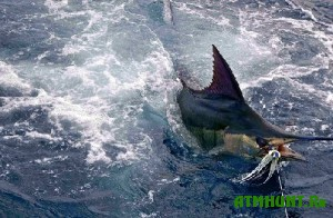 Britanec pojmal 600-kilogrammovuju rybu
