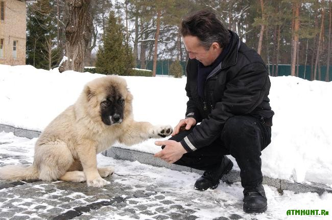 Кавказская овчарка чем кормить в домашних условиях