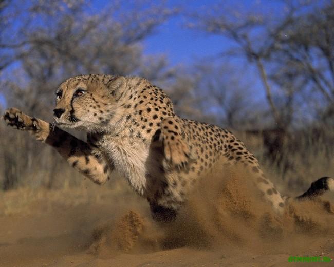 Gde_zhivet_gepard