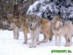 Iz-za snezhnyh zim v Primor'e razvelis' volki