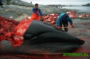 Japoncy priznalis', zachem ubivajut kitov