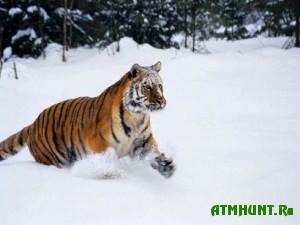 Jekologi Rossii i Kitaja nabljudajut za odnim tigrom