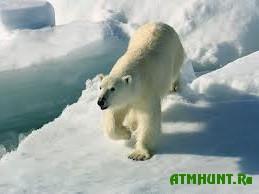 Kazhdyj god brakon'ery v Rossii unichtozhajut 200 poljarnyh medvedej