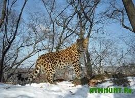Leopardov ubivajut ne tol'ko brakon'ery, no i tigry