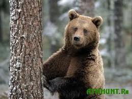 Medved', sbezhavshij iz kletki na Altae, byl najden i zastrelen