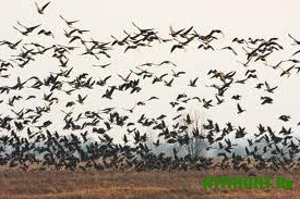 Migrirujushhie pticy perestali letat' cherez Belarus'