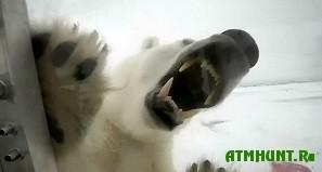 Na Shpicbergene ubili belogo medvedja, lomivshegosja v okno