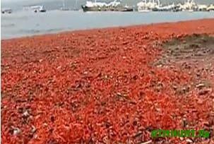 Na chilijskij bereg vybrosilo tysjachi mertvyh krevetok