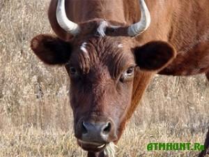 Na zemli Voronezhskoj oblasti vernulsja brucellez